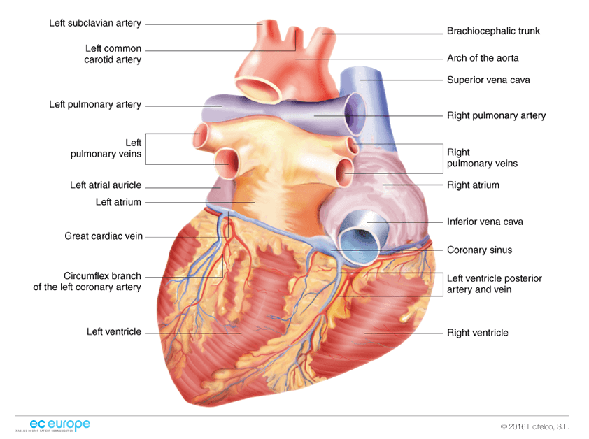 Cardiology Medical Illustration Ec Europe