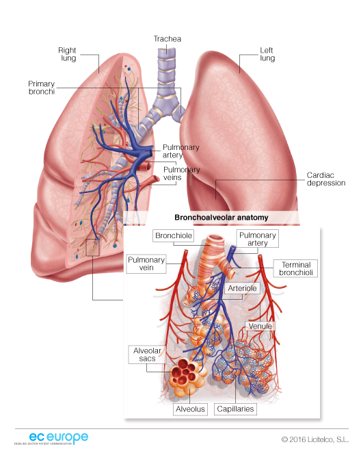 Lung bronchial anatomy