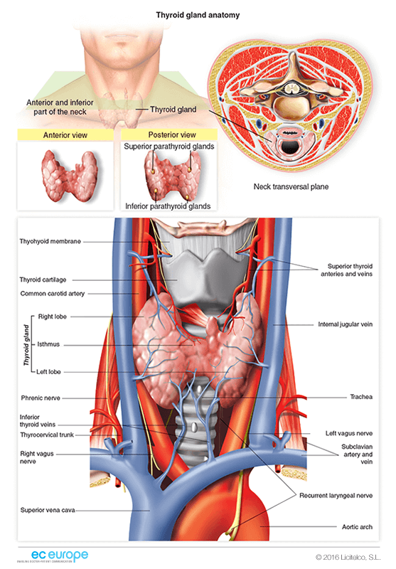 Exelent Thyroid Gland Pictures Anatomy Gift Anatomy And Physiology