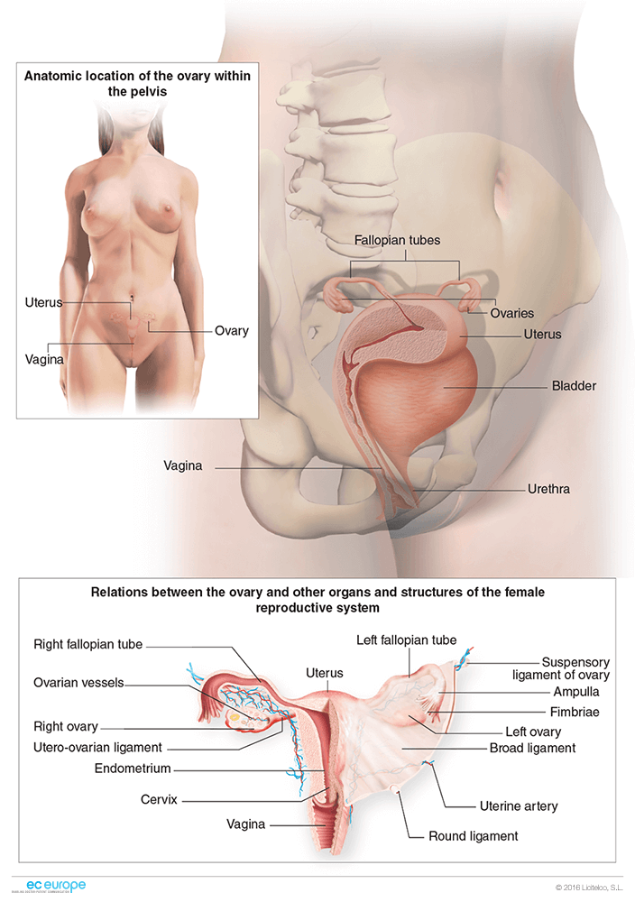 Outstanding Ovary Location Gallery - Anatomy And Physiology Biology ...